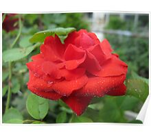 Chilled Red Rose Poster