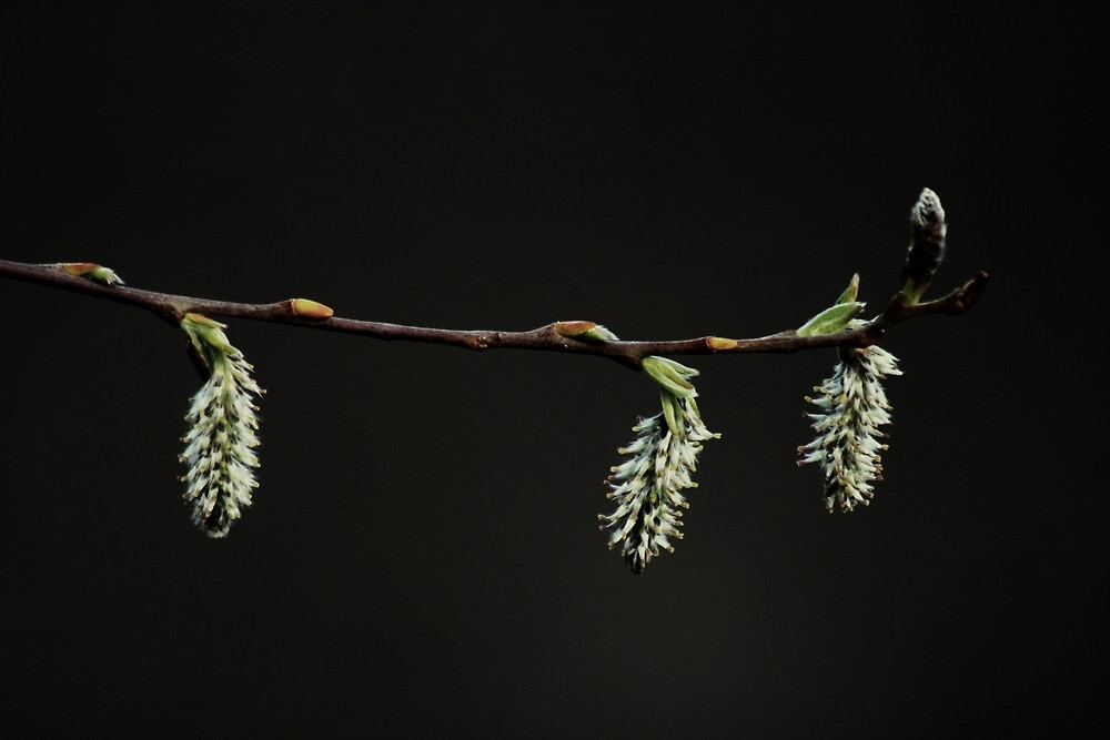 Pussy Willow by Joshua Greiner