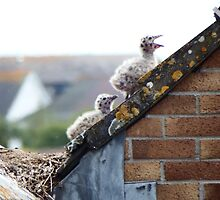 Seagull Chicks on the Roof by DEB VINCENT