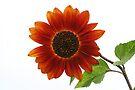 Red Sunflower by Joshua Greiner