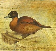 Ruddy Duck by Sarah Vernon