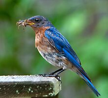 Daddy Bluebird with Big Spider by Bonnie T.  Barry