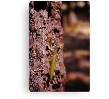 Oregon Mantis  Canvas Print