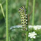 Black Swallowtail Larva by Tracy Wazny