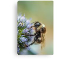 Bee on Sea Holly Flower Canvas Print