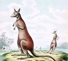 Kangaroos Vintage Drawing by goldenmenagerie