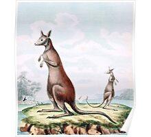 Kangaroos Vintage Drawing Poster