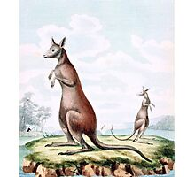 Kangaroos Vintage Drawing Photographic Print