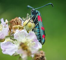 Burnet Moth on Bramble Flower by Nick Jenkins
