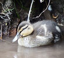 Duckling by DEB VINCENT