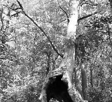 An Old Tree at Birch Grove by mushralph
