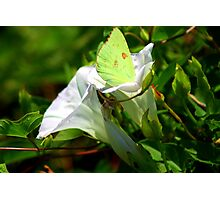 Sulphur Butterfly  Photographic Print