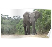 Elephant on Safari, South Africa Poster