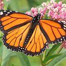 Is It A Monarch-y?! by lorilee