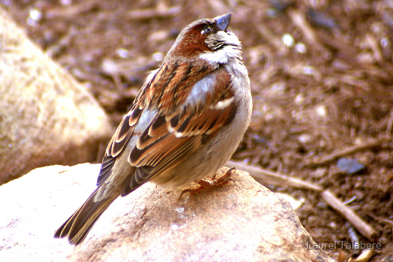 House Sparrow Perched on a Rock by Laurel Talabere