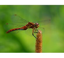 The Personality of a Dragonfly Photographic Print