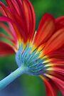 Glorious Gerbera by Renee Hubbard Fine Art Photography