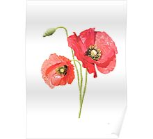 beautiful and delicate poppies Poster