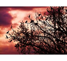 Roosting Photographic Print