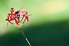 crucifix orchid by gary roberts