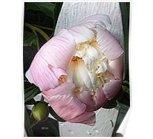 Peony on Fence Poster