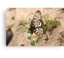 Glasswings Canvas Print