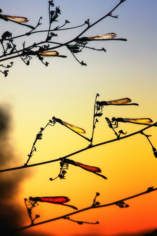 Sunset Dragonflies by Bob Larson