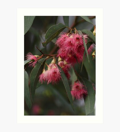 Red Flowering Gum Art Print