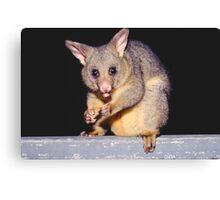 Possum on the balcony, Sydney Canvas Print