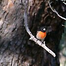 Spring Robin by Rick Playle