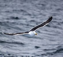 Flying Gull by Mathieu Longvert