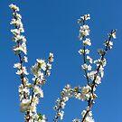 Plum Blossom against blue sky by Ian Ker