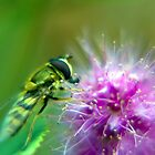 Hover Fly 2 by Mark Durant