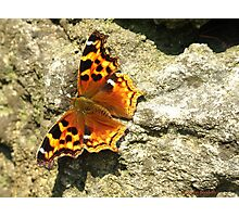 Compton Tortoiseshell Butterfly Photographic Print