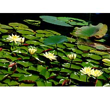Waterlilies in a Row Photographic Print
