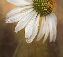 Echinacea by Mandy Disher