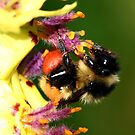 Bee on the Verbascum by Larry Trupp