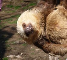 Sloth #4 by Dawn Barberis-Viczai
