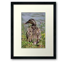 Female Duck Framed Print