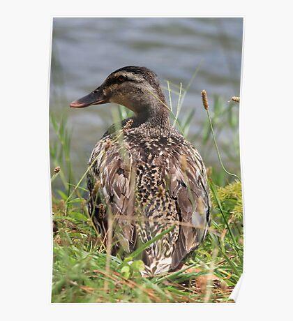 Female Duck Poster