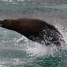 Australian Fur Seal by baddoggy