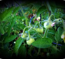 Baby Tomatoes by Alondra Hanley