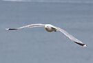 Herring Gull by Nigel Bangert