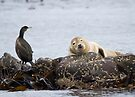 Farne Islands Wildlife by Nigel Bangert