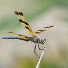 The Dragon Fly by graemebilly
