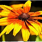 Watered Rudbeckia by Tracy Riddell