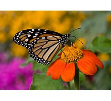 Monarch in the Garden Photographic Print