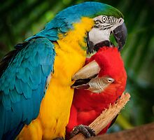 Macaws - Necking by Karen Duffy