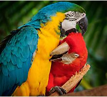 Macaws - Necking Photographic Print
