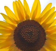 Sunflower by bkgphoto
